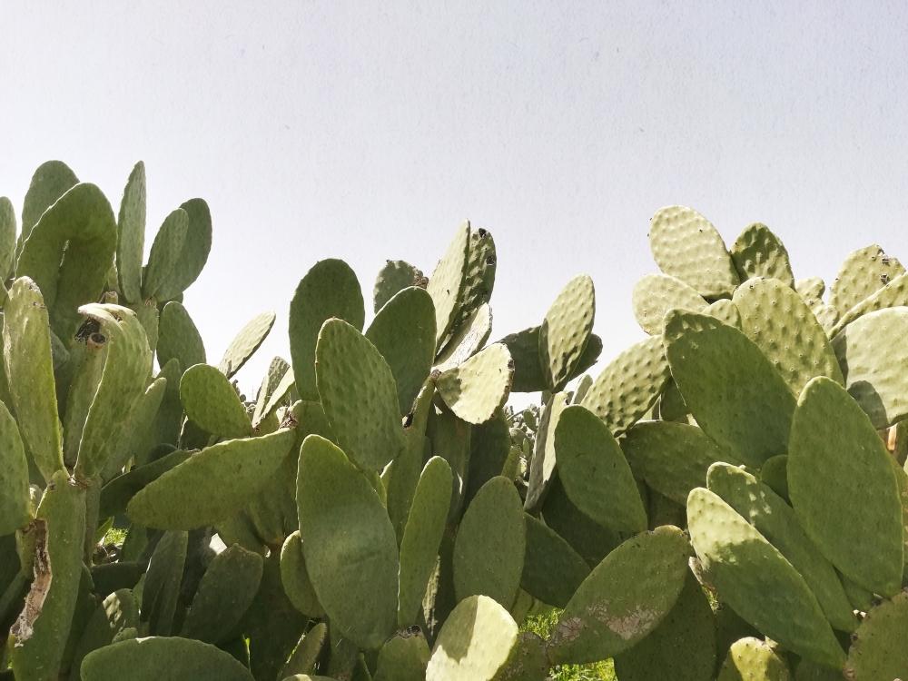 Cactus sur les routes des Pouilles